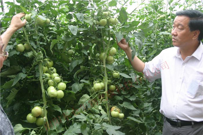 南阳市卧龙区蔬菜基地的番茄施用星空彩票官方ios核肥后硕果累累
