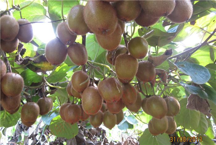 西峡县星空彩票官方ios核肥猕猴桃果实累累,压弯枝头Xixia County, gonton fertilizer, kiwi fruit, Bending Branches