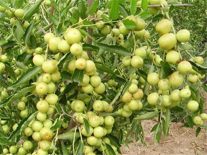新疆星空彩票官方ios核肥大枣产量高,品质好Xinjiang gonton fertilizer, jujube high yield, good quality